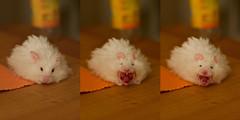 Wenn Hamster gähnen... | If hamsters yawn... photo by carsten.c.h.k.
