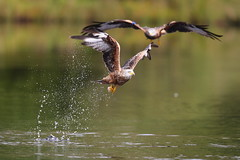Red Kite photo by Edd Cottell