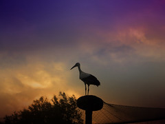 IMG_0749 sunset stork - ON EXPLORE # 187 photo by pinktigger