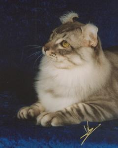 De American Curl is een unieke kat!