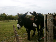 The Giant Donkeys Of Poitou