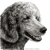 Danny, Silver Standard Poodle - graphite drawing of silver Standard Poodle