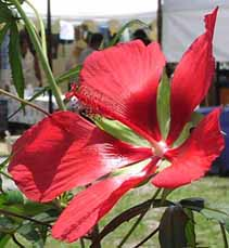 The Red Hibiscus