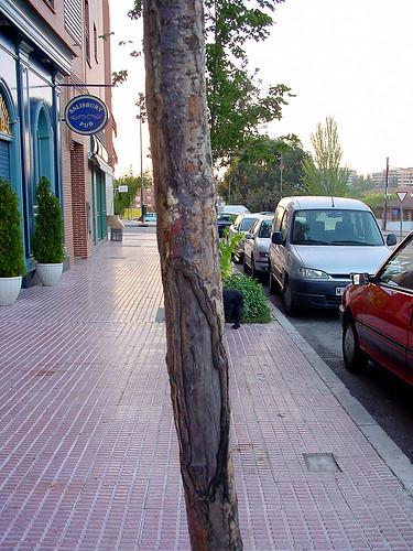 Quercus robur? NO