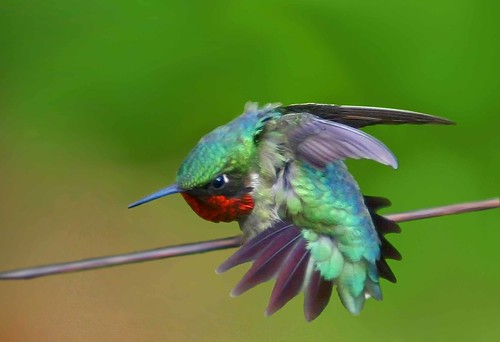 humming birds essay Hummingbird: hummingbird, any of about 320 species of small, often brightly coloured birds of the family trochilidae, usually placed with the swifts in the order.