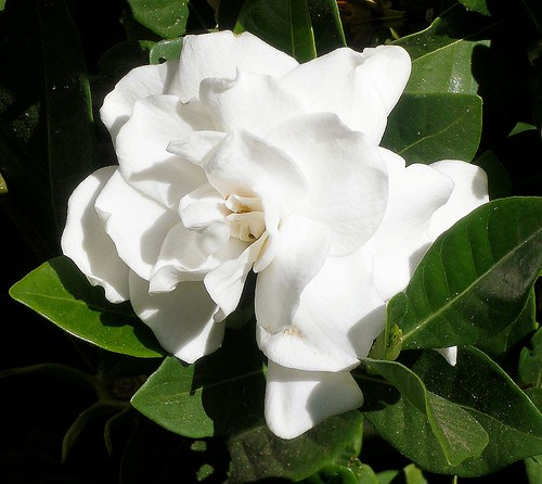 Photo: Gardenia