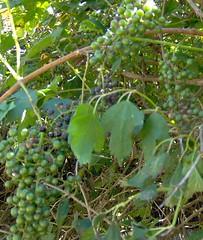 Possum Grapes_04