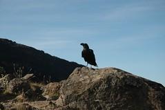 De enige vogels die op zo'n hoogte kunnen overleven... Zaten vlakbij onze tenten
