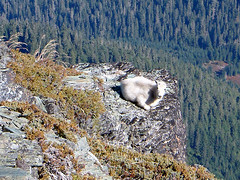 As I reached the summit of White Chuck Mtn., this young goat was lazing in the sun on this ledge.