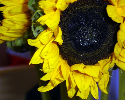 sunflower-colour