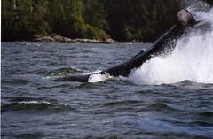 Humpback tailslap