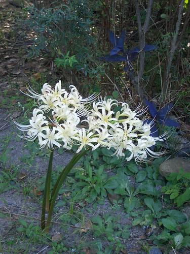White cluster-amaryllis flowers