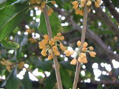 金木犀 / Fragrant Olive