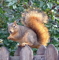 16 squirrel
