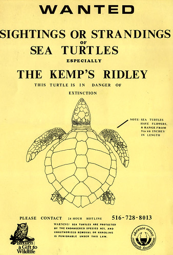 Kemp's Ridley Turtle poster