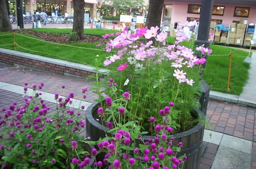 Cosmos in the town