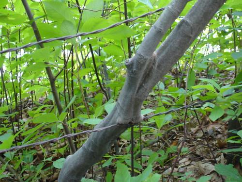 Omnivorous tree