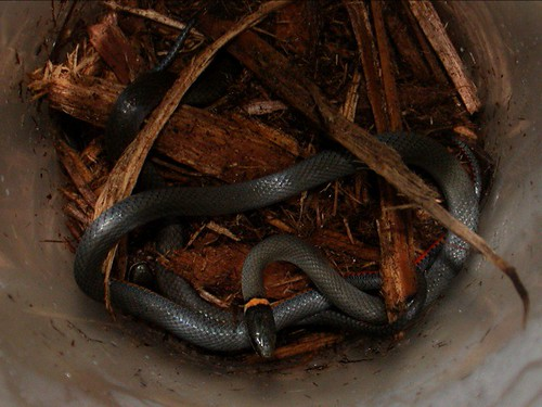 Ringneck snakes, part one (2003)