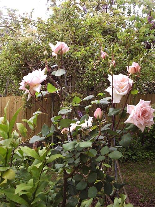 Unk Rose