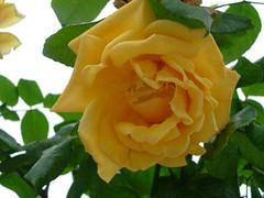 Rosa de oton