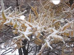 Sucre-d'hiver