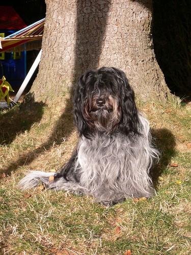 De Schapendoes is een vrolijke, energieke en lieve hond