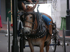 New Orleans, French Quarter, Horse