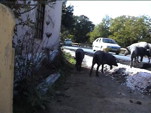 cerdos en la carretera