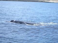 Peninsular Valdez - 08 - Whale