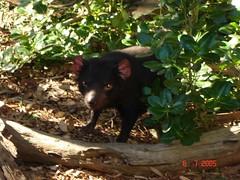 Tasmanian Devil di Ballarat Wildlife Park, Australia