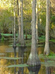Cypress Trees in the River