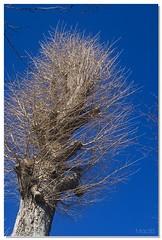 Maidenhair tree of winter