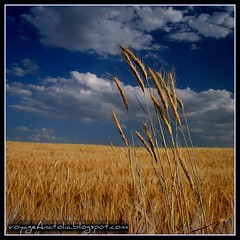 Golden Fields on the Way to Gordium City of King Midas photo by voyageAnatolia.blogspot.com
