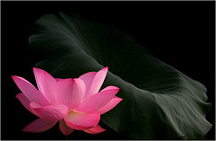 Lotus Flower and the Leaf - IMG_8697 - , ハスの花, 莲花, گل لوتوس, Fleur de Lotus, Lotosblume, कुंद, 연꽃, photo by Bahman Farzad