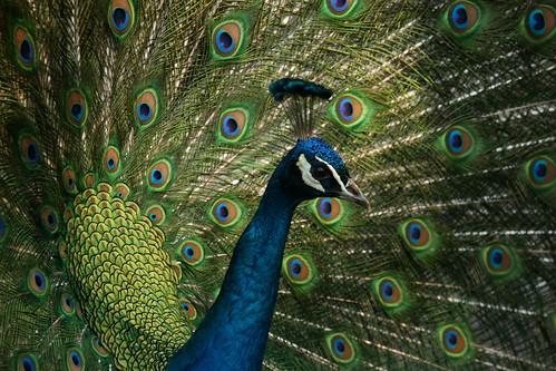 peafowl/1