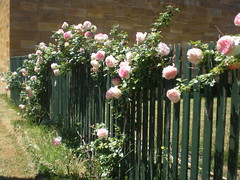 Roses on a picket fence : Explored photo by Inglewood Mum (Chris)