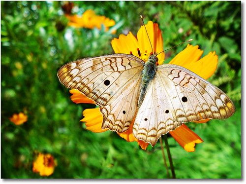 The Book of Tao - Chapter 2 >> White peacock butterfly (Anartia jatrophae) photo by AnnuskA  - AnnA Theodora