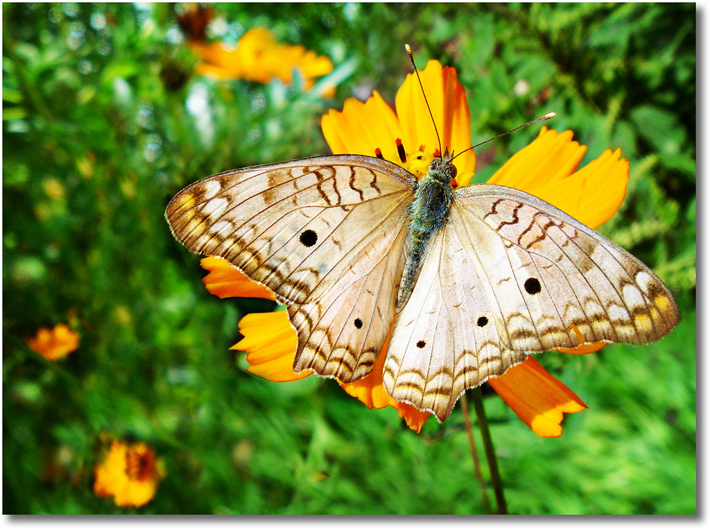 The Book of Tao - Chapter 2 >> White peacock butterfly (Anartia jatrophae) photo by AnnuskA  - AnnA Theodora