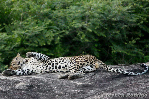 Flickr: Discussing Your Favorite Leopard Portrait in ...