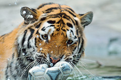 Playing with the ball 2 photo by Tambako the Jaguar