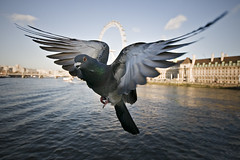 Pigeon photo by Jon Cartwright