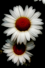 Daisies photo by MNesterpics