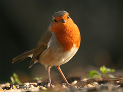 Robin redbreast! photo by catb -