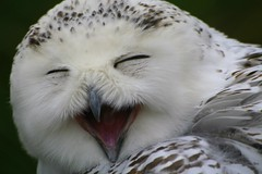 Laughing owl! photo by catb -
