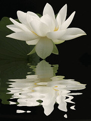 Lotus Flower Reflections / nature / white / black / flower / - IMG_1724-refl - , ハスの花, 莲花, گل لوتوس, Fleur de Lotus, Lotosblume, कुंद, 연꽃, photo by Bahman Farzad