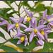 Solanum seaforthianum - סולנום מטפס