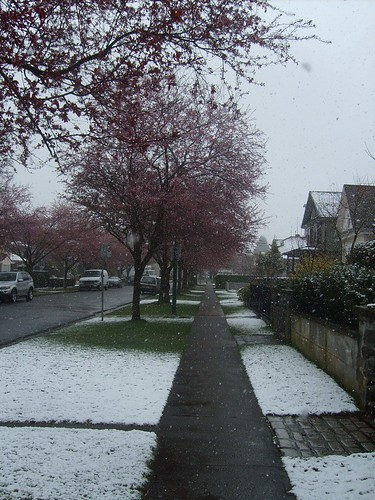 Snow & Cherry Blossoms
