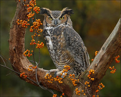 Great Horned Owl photo by Mark_Rosa