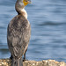 Double Crested Cormorant 1-1