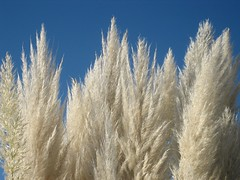 Pampas Grass photo by Krista Roesinger